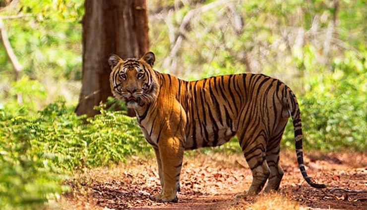 5 Best Tiger Reserves in Maharashtra