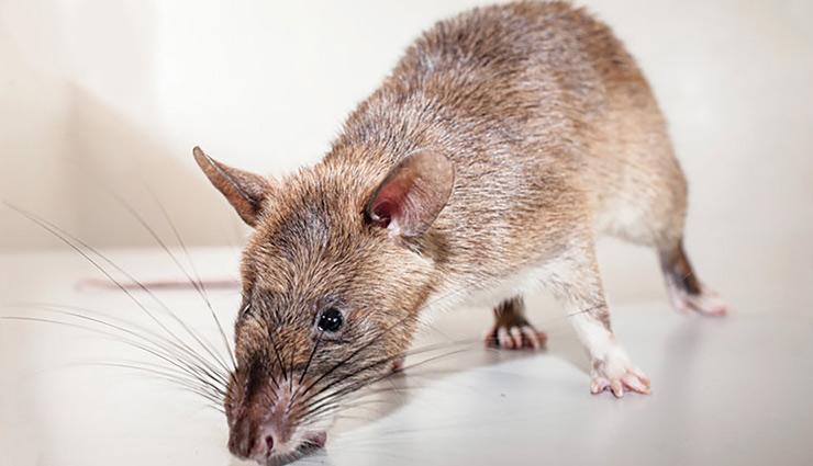 mouse in house,how to get mice out of the house,rats in house,household tips,home decor tips ,हाउसहोल्ड टिप्स, होम डेकोर टिप्स, घर से चूहे कैसे भगाएं