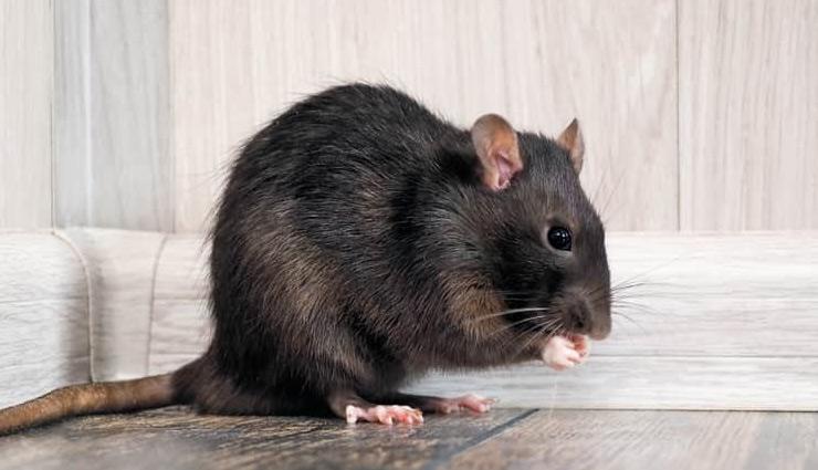 घर में फैल चुका हैं चूहों का आतंक, इन उपायों से मिलेगी राहत