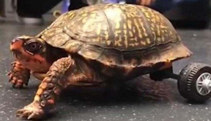 disabled turtle,viral video,social media,weird story,weird news ,विकलांग कछुआ, वायरल वीडियो, सोशल मीडिया