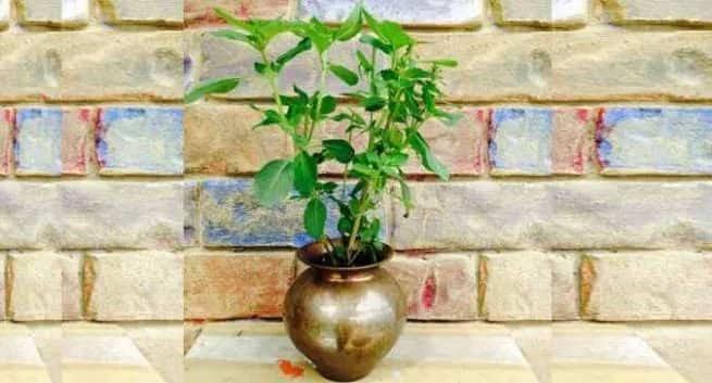 vastu tips,vastu tips for tulsi plant,astrology tips,tulsi astrology
