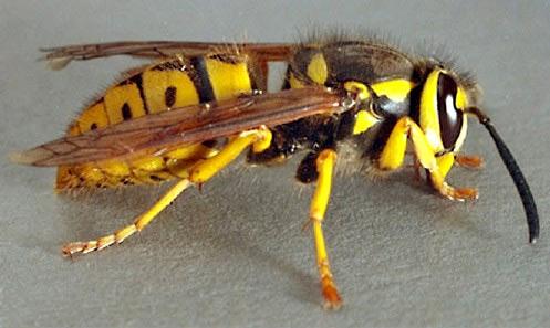 venomous insects,tse-tse flies,killer bees,giant japanese hornet,black widow spider,human botflies
