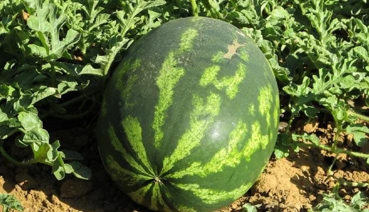 weird news,weird incident,strange war,war for a watermelon,war between bikaner and nagaur ,अनोखी खबर, अनोखी घटना, अनोखा युद्ध, तरबूज के कारण युद्ध, बीकानेर और नागौर के बीच युद्ध