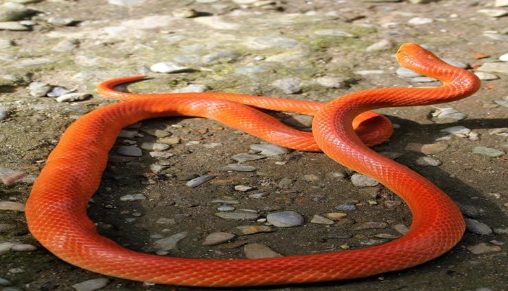 weird news,weird incident,weird snake,rare snake,red coral kukri snake ,अनोखी खबर, अनोखा मामला, अनोखा सांप, दुर्लभ सांप, रेड कोरल कुकरी सांप