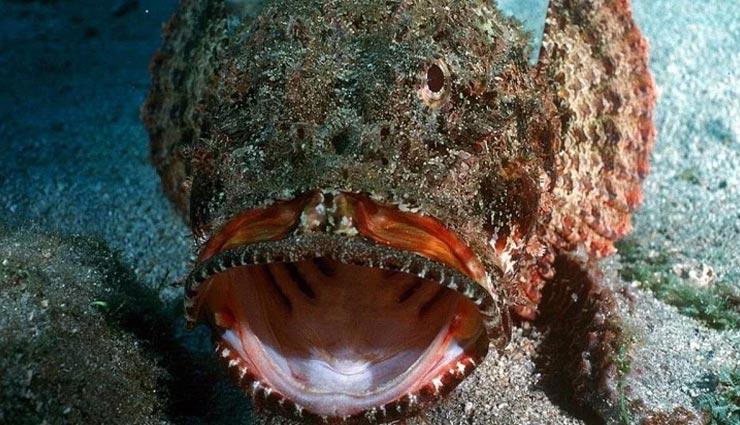 weird news,weird fish,poisonous stone fish ,अनोखी खबर, अनोखी मछली, जहरीली स्टोन फिश