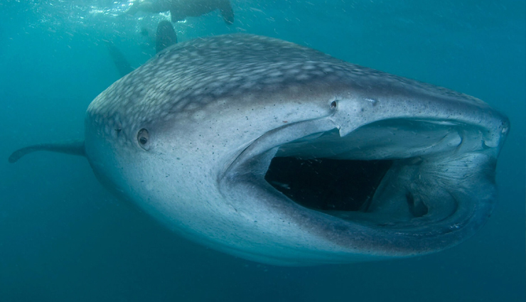 5 Best Places To See Whale Sharks