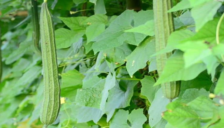 பீர்க்கங்காயில் அடங்கியுள்ள ஏராளமான மருத்துவக்குணங்கள்