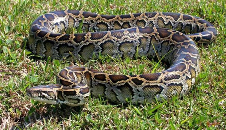 python,meadow,owner,escaped,died ,மலைப்பாம்பு, புல்வெளி, உரிமையாளர், தப்பியது, இறந்தது