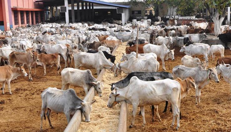 congress,cow prevention act,dk sivakumar,karnataka